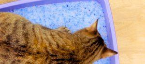 Gato haciendo deposiciones en un arenero con arena de sílice
