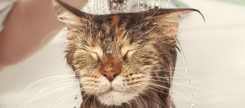 Bañando a un gato