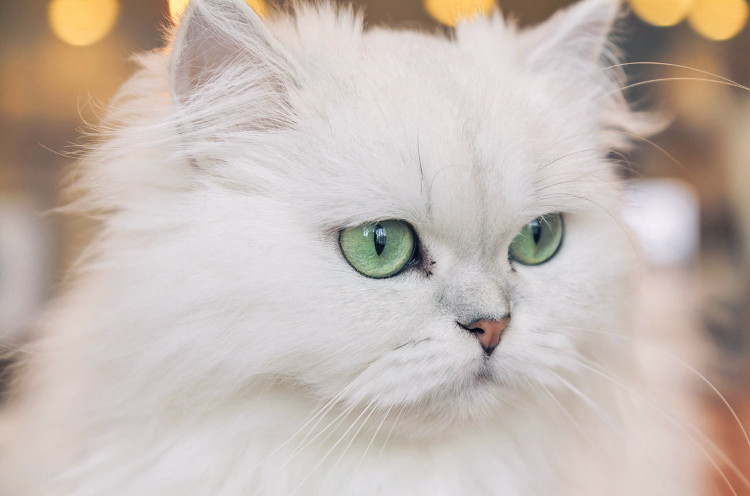 Gato blanco de raza persa