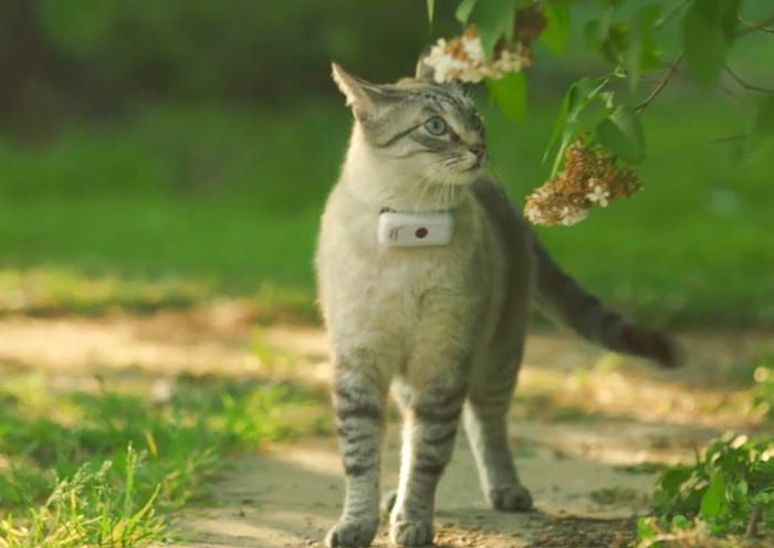 Gato paseando en el jardín con un collar GPS