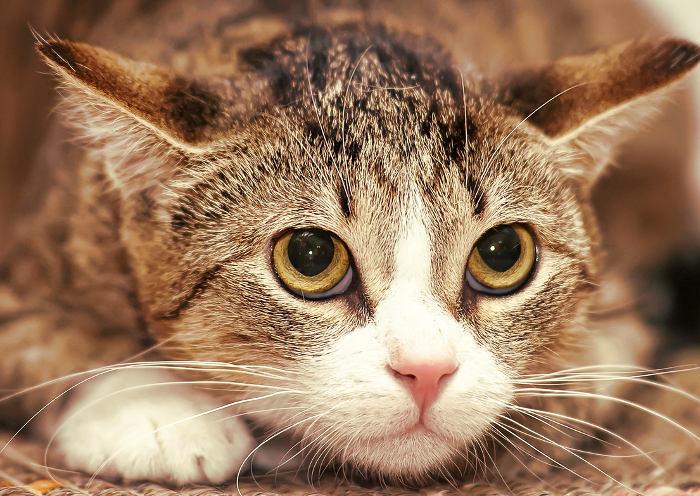 Gato con la nariz caliente por fiebre