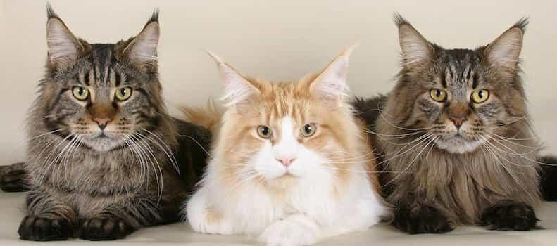 Los gatos grandes necesitan un rascador grande