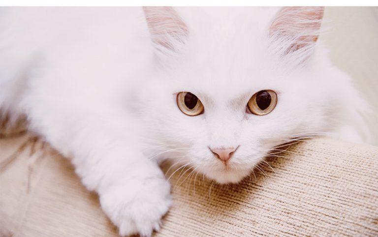 Raza de gatos blancos