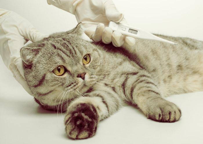 Tomando la temperatura a un gato