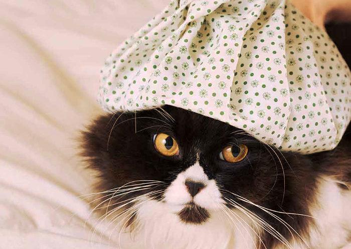 Tratando la fiebre de un gato