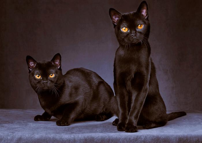 Dos gatos negros Bombay