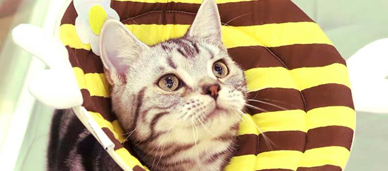 Modelo collar isabelino gatos de almohada