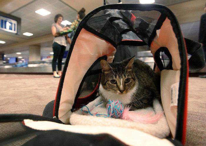 Gatito en el aeropuerto después de viajar en avión