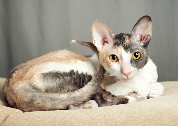 Gato cornish con poca cantidad de alérgeno