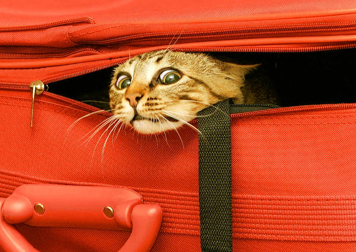Gato escondido en una maleta antes de viajar