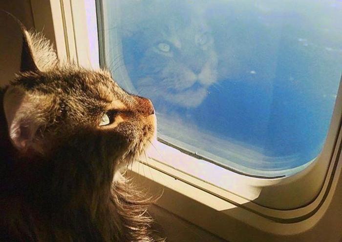 Gato mirando por la ventana en un avión mientras viaja