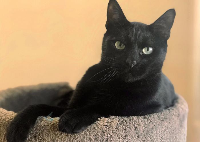 Gato negro en su camita