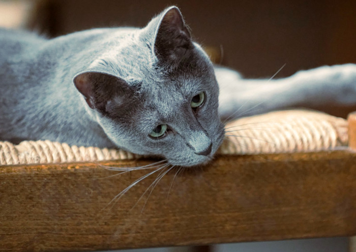 Gato con poca proteína alérgena