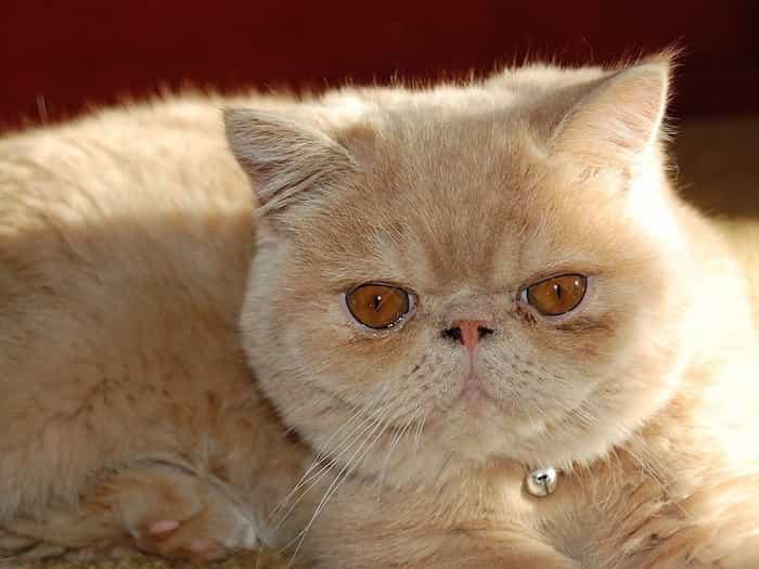 Gato raro exótico