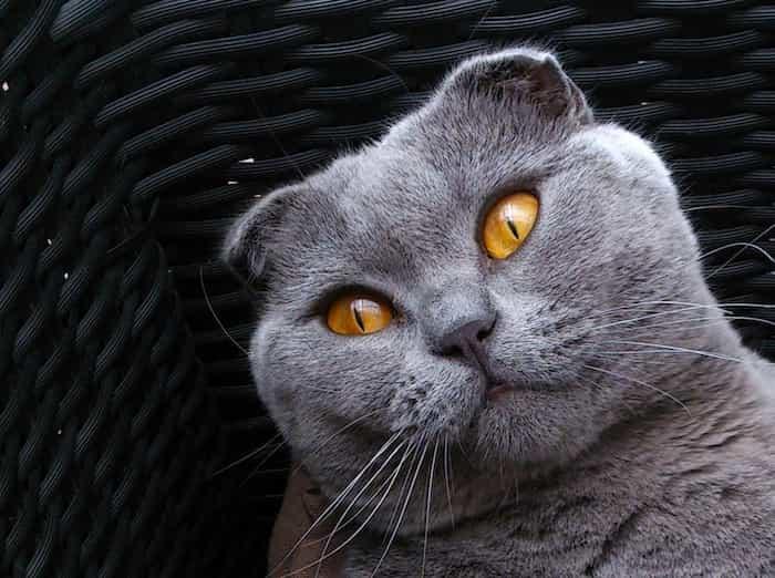 Gato scottish fold con orejas raras