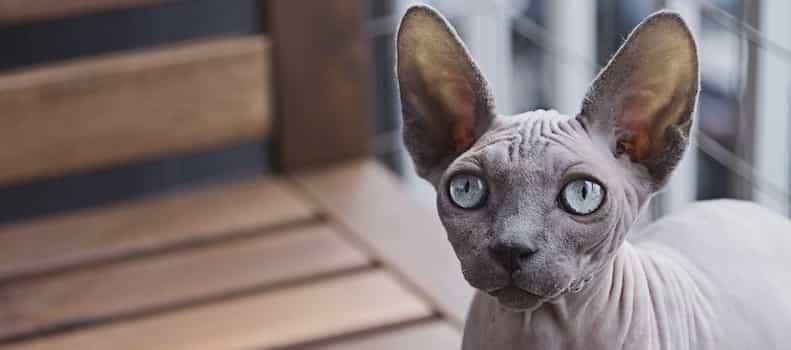 Gato raro del mundo felino doméstico