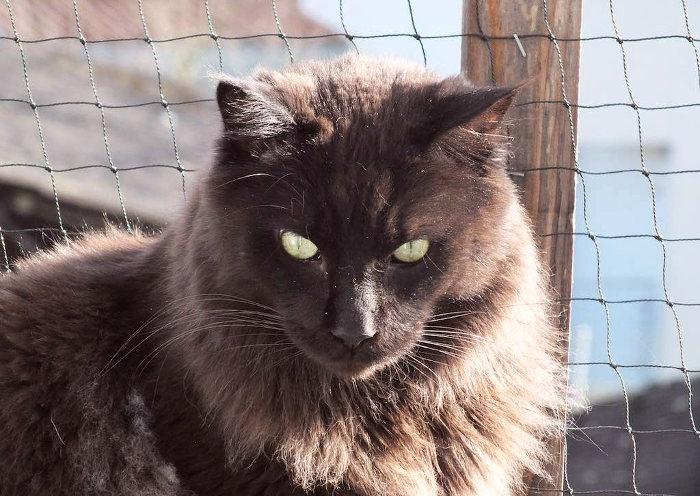 Gato Maine Coon de color oscuro o negro