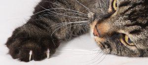 Gato estirando su pata con las uñas sin cortar