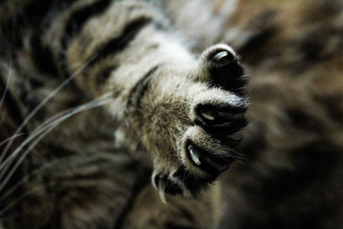 Pata de un gato con las uñas cortadas
