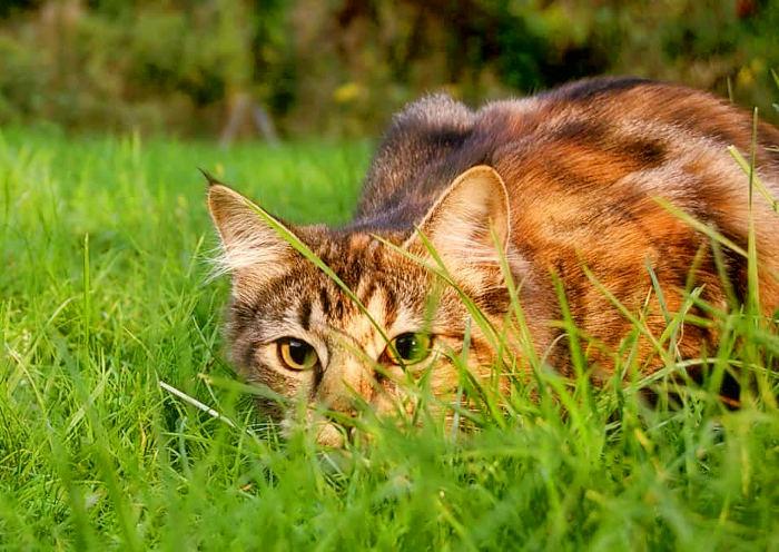 Gato cazando en una pradera