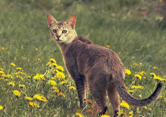 Gato chausie parecido a un tigre en pequeño