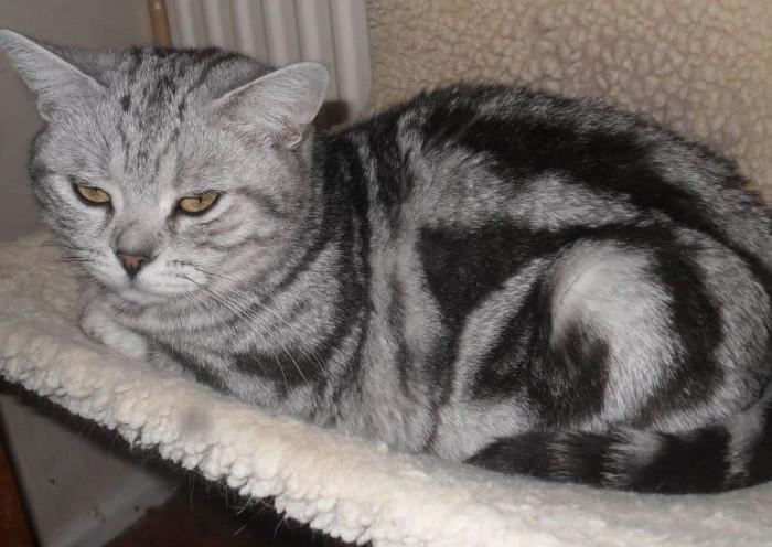 Gato gris atigrado