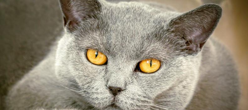 Gato gris tumbado
