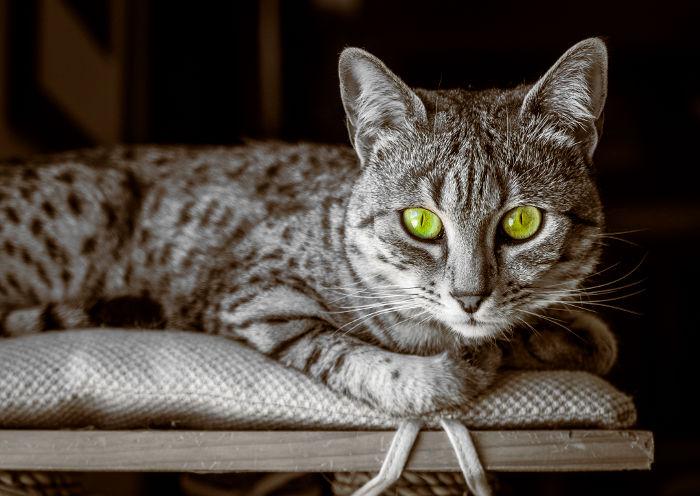 Gato Mau descendiente de los gatos de Egipto
