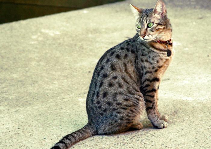 Un gato Mau similar a un pequeño tigre