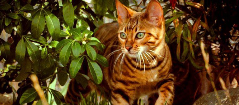 Gato que parece un tigre