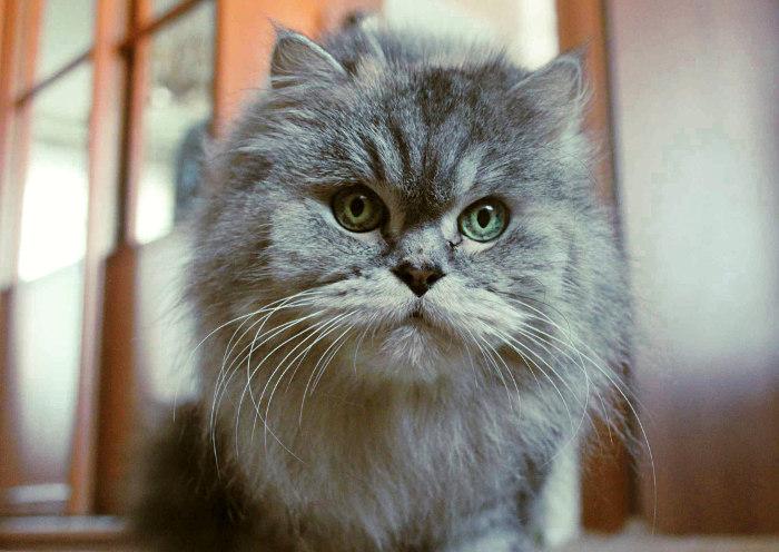 Gato gris con ojos claros