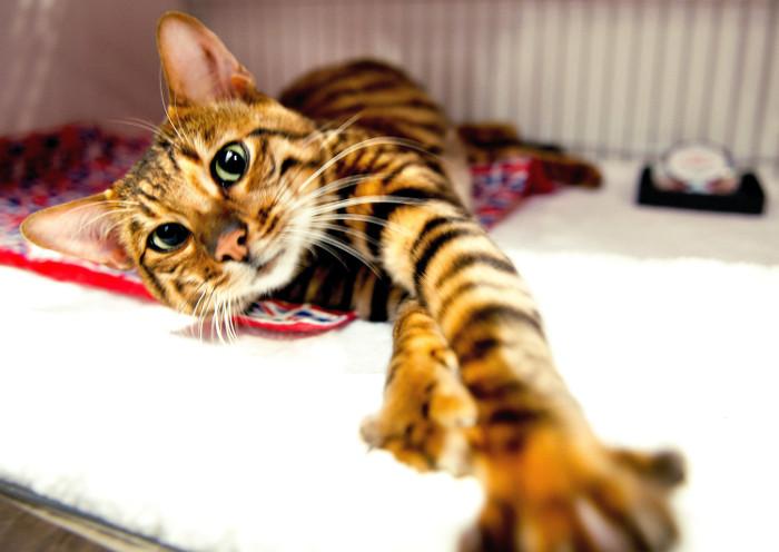 Gato toyger parecido a un tigre salvaje