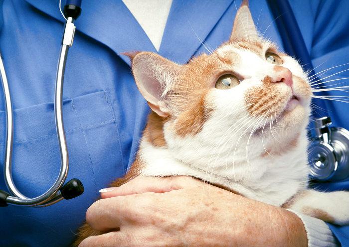 Gato con trastornos gastrointestinales en el veterinario