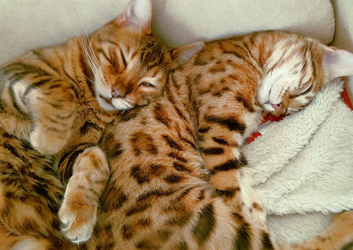 Dos gatos bengala que parecen tigres