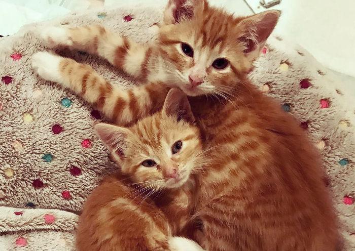 Gatos naranjas adaptados a vivir en una casa