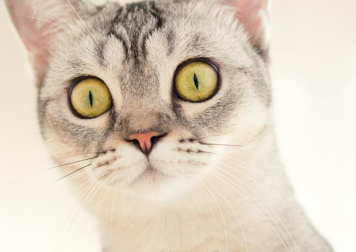 Ojos de un gato grandes
