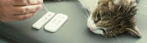 Gato con diabetes y con prescripción de pienso diabético