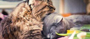Gata en celo con otro gato