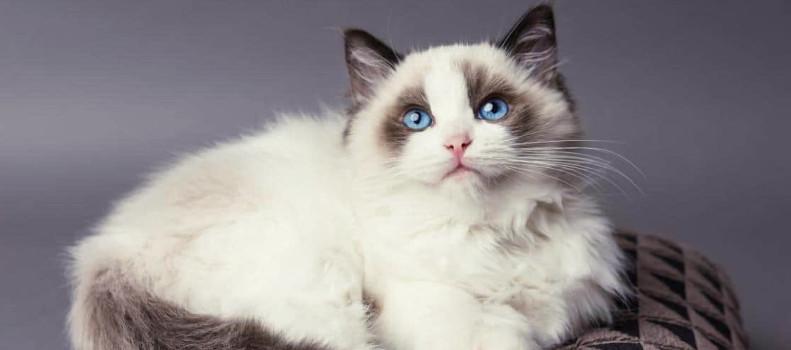 Un gato de los más caros del mundo