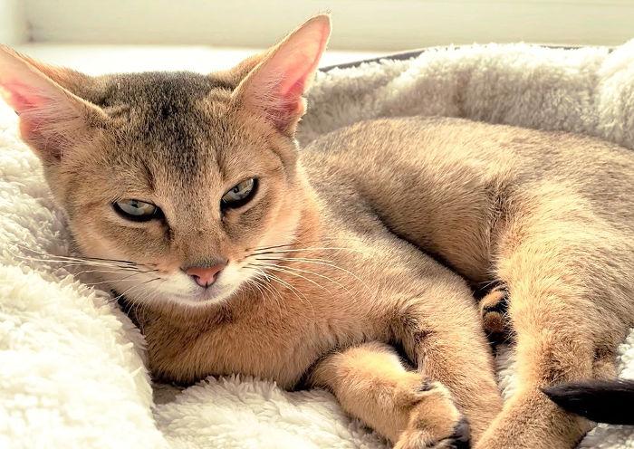 El gato chausie es uno de los más caros
