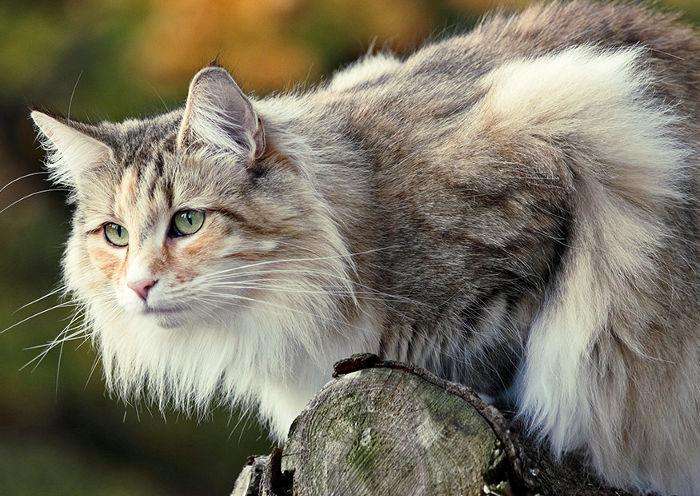 Gato noruego con un precio alto