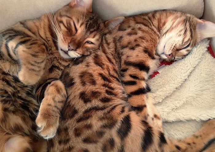 Los gatos bengala tiene un precio alto