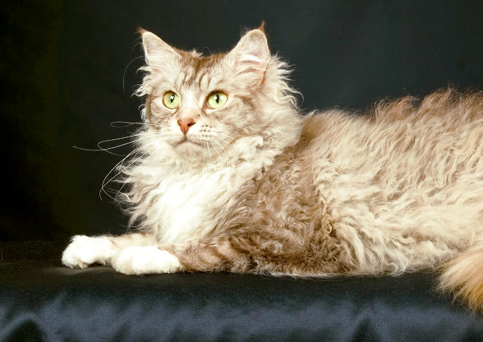 Gato La Perm es un gato muy caro