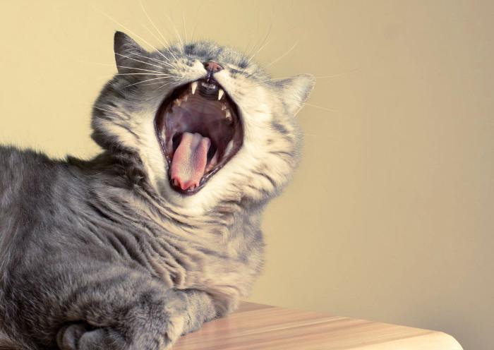 Gato con mal aliento posiblemente enfermo