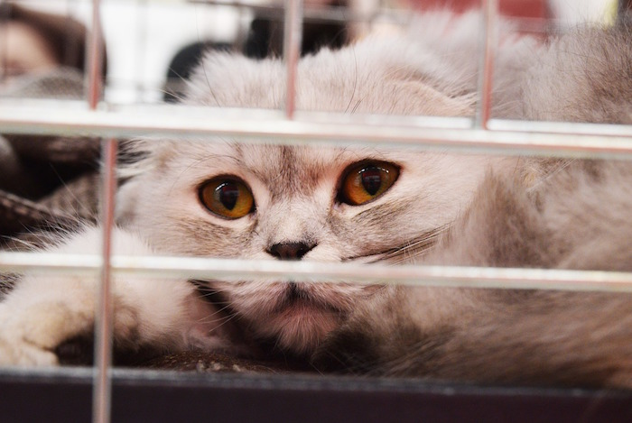 Gato con tratamiento para la panleucopenia felina