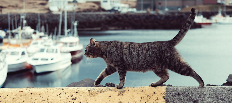 Gato con bolsa primordial