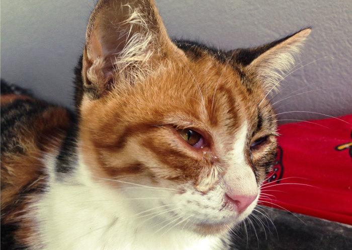Gato con secreción en los ojos