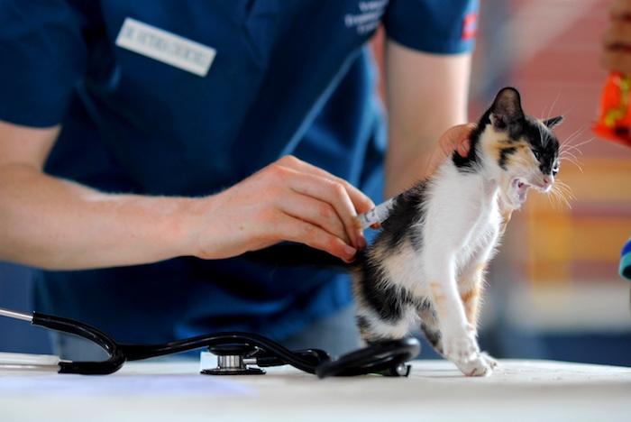 Gatito estresado con un veterinario que le aplica un relajante