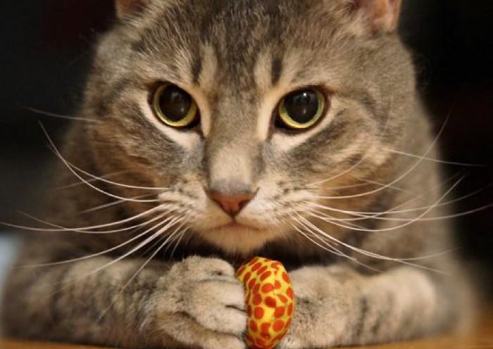 Gato con su juguete en el día internacional del gato
