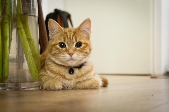 Gato relajado usando feromonas